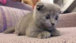 蓝猫掉毛怎么办?导致掉毛的原因是什么?